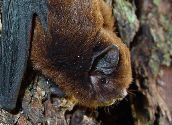 Long tailed bat Colin ODonnell2