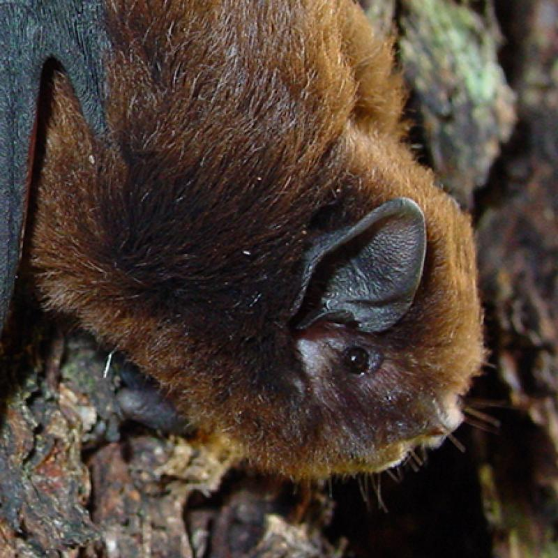 Long tailed bat Colin ODonnell