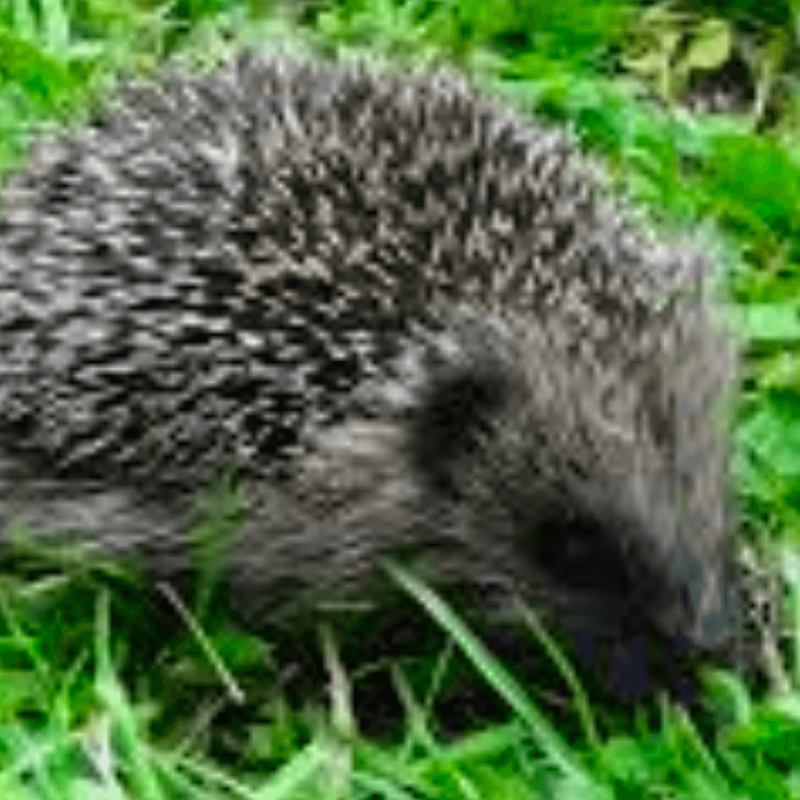 NZ birdlife predator the Hedgehog